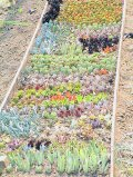 多肉植物の50種類(おまかせ)50個根あり