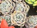 白牡丹(シロボタン)直径約3cm 多肉植物