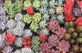 多肉植物の苗セット50個(10種類以上)根あり