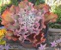 高砂の翁タカサゴノオキナ・大苗直径15〜20cm