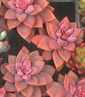 ブロンズ姫(ブロンズヒメ)直径3〜5cm 多肉植物