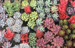 画像1: 多肉植物の苗セット50個(10種類以上)根あり